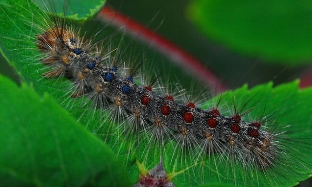 Gypsy Moth Summer by Patricia Flaherty Pagan