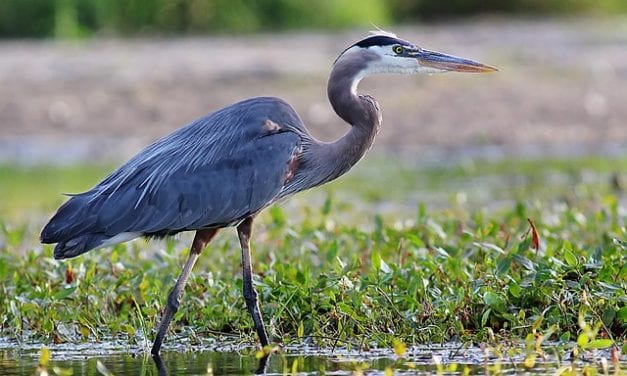 Asking a Blue Heron By Sean Mabry
