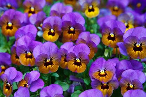 Delaney's Pansies by Evan Guilford-Blake