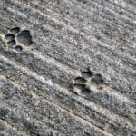 Paw Prints in a Concrete Sidewalk by David Pring-Mill