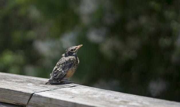 To a Fledgling Robin Misplaced by Joshua Brunetti